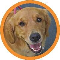 Pet-Waste-Golden-Retriever.jpg